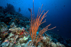 Cluster whip coral and divers in the Red Sea. Stock Photo