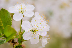 Cluster of white cherry flowers Stock Image