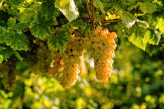 Cluster of white grape. In the wineyard Royalty Free Stock Images