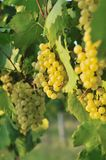 Cluster of white grape Stock Images