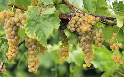 Cluster of white grapes. Hanging in vineyard Royalty Free Stock Image