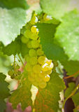 Cluster of white grapes Royalty Free Stock Photo