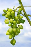 Cluster of white grapes Stock Photo