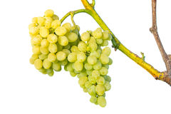 Cluster of white grapes on vine Royalty Free Stock Images