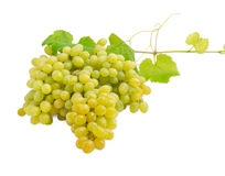 Cluster of the white grapes on the vine Royalty Free Stock Image