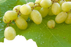 Cluster of white grapes on wet leaf Royalty Free Stock Image