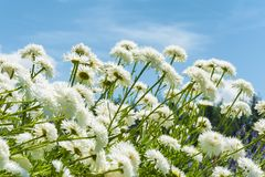 Close up of white daisies and blue sky stock image