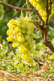 Cluster of white table grape on vine Stock Image