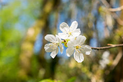 Cluster of White Tree Blossoms - Hawthorn tree Royalty Free Stock Photo