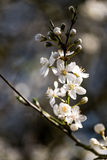 Cluster of White Tree Blossoms - Hawthorn tree Stock Images