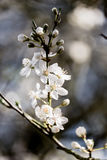 Cluster of White Tree Blossoms - Hawthorn tree Stock Photos