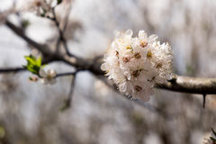 Cluster of White Tree Blossoms - Hawthorn tree Royalty Free Stock Photography