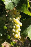 Cluster of white wine producing grapes Stock Photos