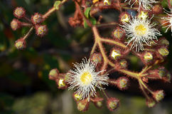 Cluster of white and yellow gumtree Angophora hispida flowers and buds. In the Royal National Park, Sydney, Australia Stock Photography