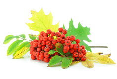 Cluster of wild ash with leaves autumn still life Stock Photos
