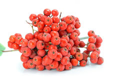 Cluster of wild ash is medical fruit isolated Stock Photos