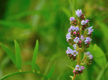 Cluster of wild flowers echium strictum in foreground Royalty Free Stock Image