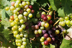 Cluster of wine producing grapes Stock Photos