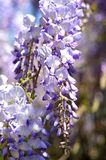 A cluster wisteria Royalty Free Stock Images