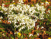 A Cluster of Woodland Snowdrops Royalty Free Stock Photo