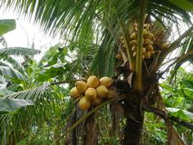 Cluster of yellow coconuts Stock Images