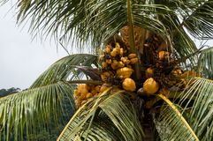 A cluster of yellow coconuts Stock Images