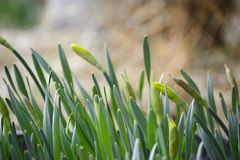 Cluster of Yellow Daffodil Buds Royalty Free Stock Photo