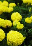 A cluster of bright yellow flowers on a green bush. A cluster of yellow flowers, each with hundreds of petals. A rain drop is falling off a petal in the royalty free stock photos