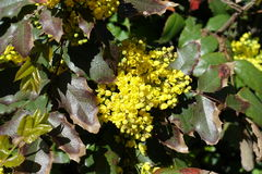 Cluster of yellow flowers of Oregon grape Stock Photography