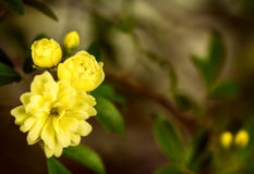 Cluster of yellow roses, close up Stock Photos
