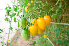 Cluster yellow tomato Stock Photo