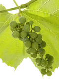 Cluster of a young green grape royalty free stock image