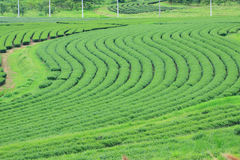 Cluster of young green tea leaf in tea field, Tea Plantations. Stock Photo