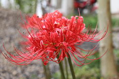 Clusteramaryllis. Also called hurricane lilies,cluster amaryllis or Lycoris radiata var, are bulb-producing perennial plants Stock Photography