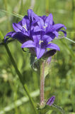 Clustered Bellflower Royalty Free Stock Photography