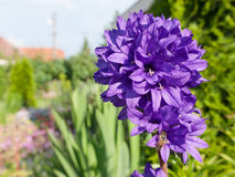 Clustered bellflower Royalty Free Stock Image