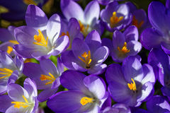 Crocus cluster in violet bloom in sunlight. Clustered Crocus vernus bloom brightly in the sunlight. Early spring expressions stock image