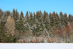 Clustered fir trees in winter by blue sky Stock Photos