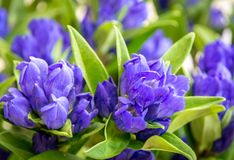 Clustered gentian - Gentiana triflora is a tall, flowering perennial plant stock image
