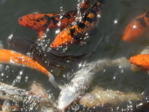 Clustered Koi Royalty Free Stock Photo