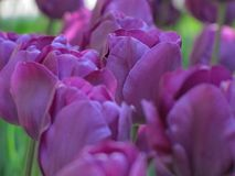 Clustered Purple Tulips with Green royalty free stock photos