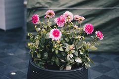 Clustered Pink Petal Flower Plant On Black Pot Stock Photo