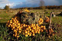 Clustered Woodlover Fungi, mushrooms in a forest. In autumn Stock Photography