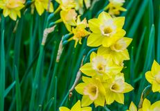Clustered yellow daffodil flowers in bloom during spring season, nature background. Some Clustered yellow daffodil flowers in bloom during spring season, nature stock image