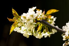 A Cluster of white cherry blossom anainst a black background. A Cluster of white cherry blossom on a branch against a black background Royalty Free Stock Images