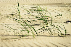 Clusters of beach grass or sand ryegrass Leymus arenarius growing on dune at Baltic coast. Stock Photos