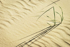 Clusters of beach grass or sand ryegrass Leymus arenarius growing on dune at Baltic coast. Pomerania, northern Poland Royalty Free Stock Image
