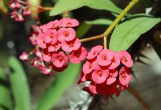 Clusters of beautiful Euphorbia Milii flowers Stock Photo