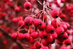 Clusters of beautiful hawthorn. NLong since hawthorn is famous for its beneficial properties. The ornamental shrub with large red fruits has been known since the royalty free stock photography