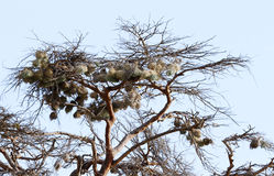 Clusters of beautiful weaver bird nests on a tree Stock Photo
